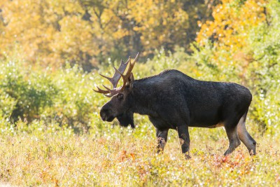Bull Moose - Wildlife